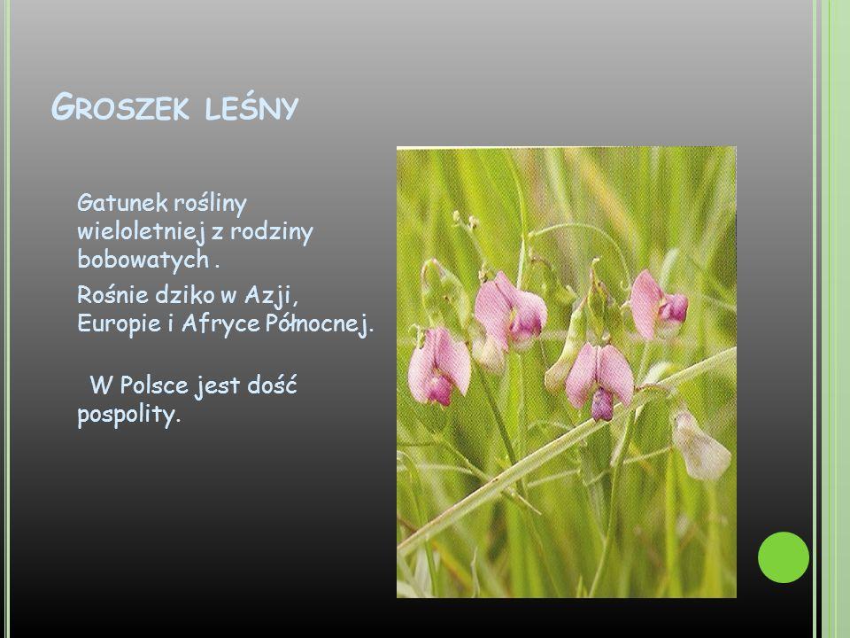 Groszek leśny Gatunek rośliny wieloletniej z rodziny bobowatych .