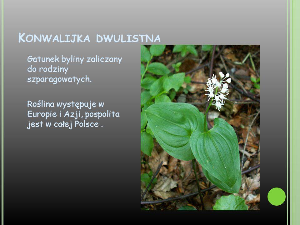 Konwalijka dwulistna Gatunek byliny zaliczany do rodziny szparagowatych.