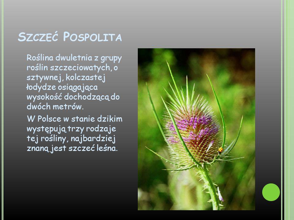Szczeć Pospolita