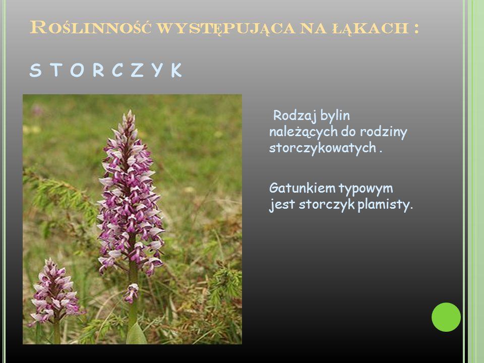 Roślinność występująca na łąkach : S T O R C Z Y K