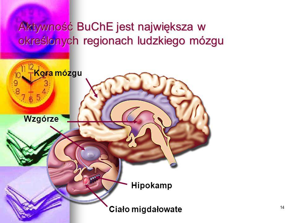 Aktywność BuChE jest największa w określonych regionach ludzkiego mózgu