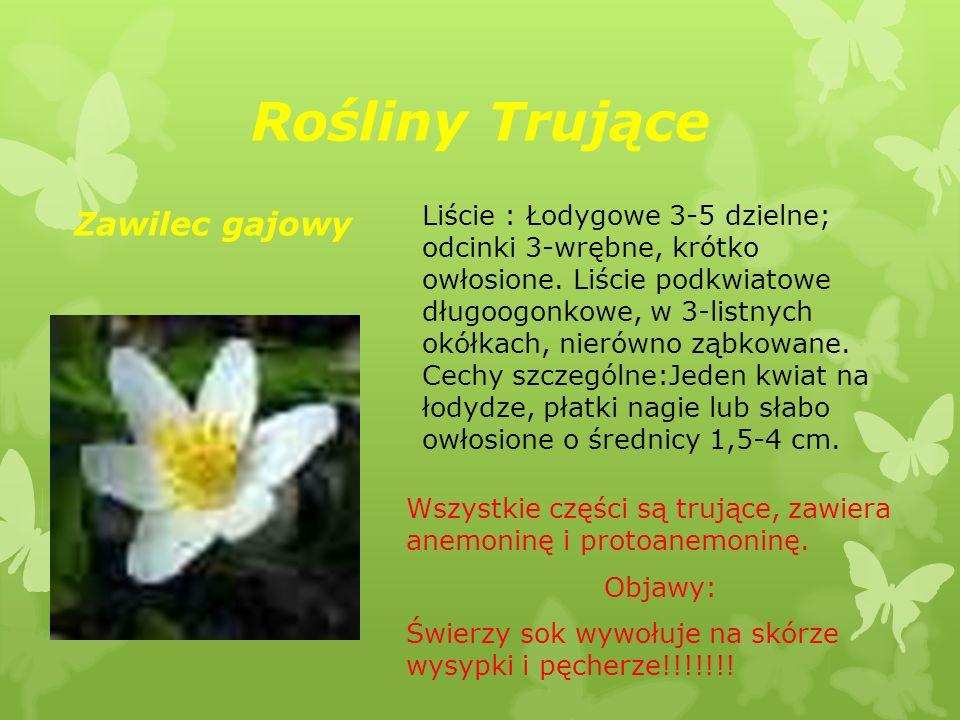 Rośliny Trujące Zawilec gajowy