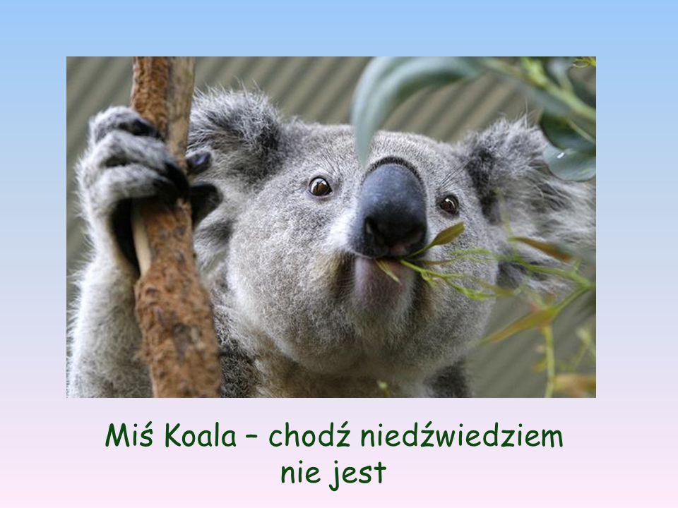 Miś Koala – chodź niedźwiedziem