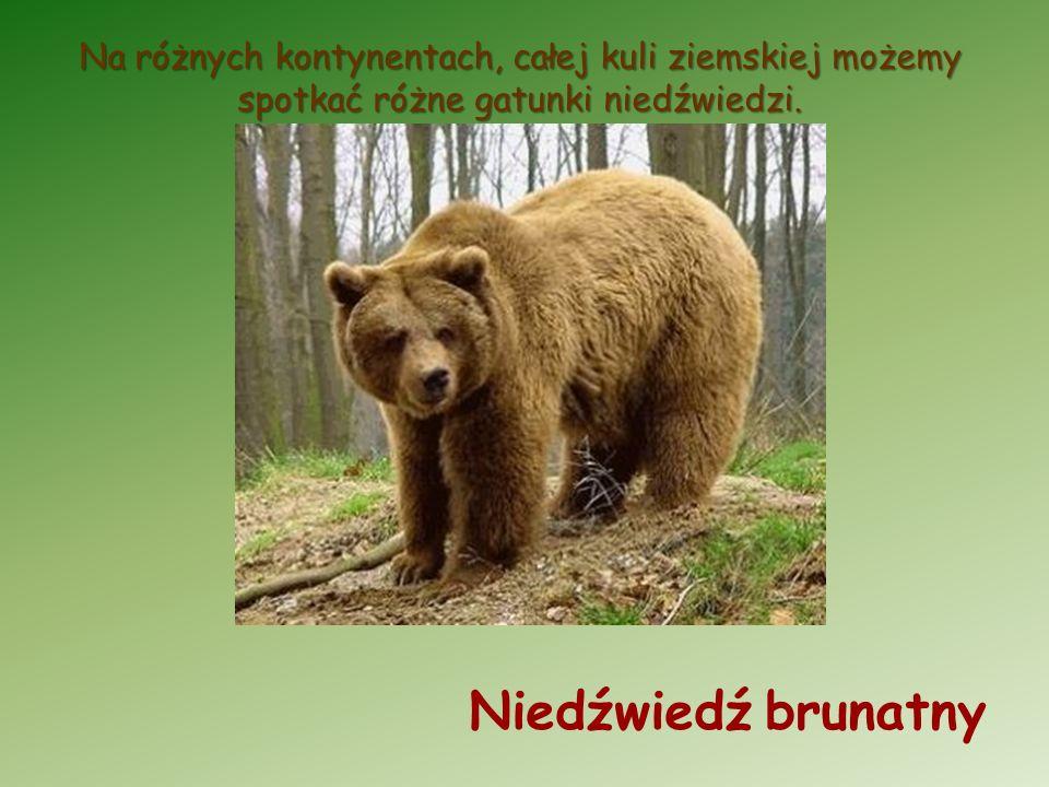 Na różnych kontynentach, całej kuli ziemskiej możemy spotkać różne gatunki niedźwiedzi.