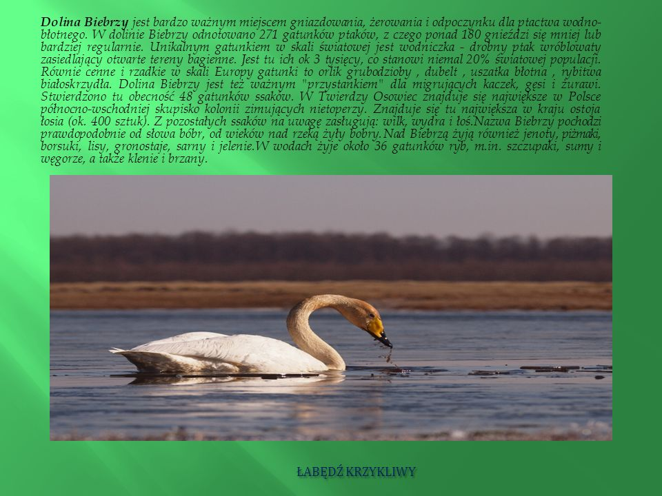 Dolina Biebrzy jest bardzo ważnym miejscem gniazdowania, żerowania i odpoczynku dla ptactwa wodno-błotnego. W dolinie Biebrzy odnotowano 271 gatunków ptaków, z czego ponad 180 gnieździ się mniej lub bardziej regularnie. Unikalnym gatunkiem w skali światowej jest wodniczka - drobny ptak wróblowaty zasiedlający otwarte tereny bagienne. Jest tu ich ok 3 tysięcy, co stanowi niemal 20% światowej populacji. Równie cenne i rzadkie w skali Europy gatunki to orlik grubodzioby , dubelt , uszatka błotna , rybitwa białoskrzydła. Dolina Biebrzy jest też ważnym przystankiem dla migrujących kaczek, gęsi i żurawi. Stwierdzono tu obecność 48 gatunków ssaków. W Twierdzy Osowiec znajduje się największe w Polsce północno-wschodniej skupisko kolonii zimujących nietoperzy. Znajduje się tu największa w kraju ostoja łosia (ok. 400 sztuk). Z pozostałych ssaków na uwagę zasługują: wilk, wydra i łoś. Nazwa Biebrzy pochodzi prawdopodobnie od słowa bóbr, od wieków nad rzeką żyły bobry. Nad Biebrzą żyją również jenoty, piżmaki, borsuki, lisy, gronostaje, sarny i jelenie. W wodach żyje około 36 gatunków ryb, m.in. szczupaki, sumy i węgorze, a także klenie i brzany.