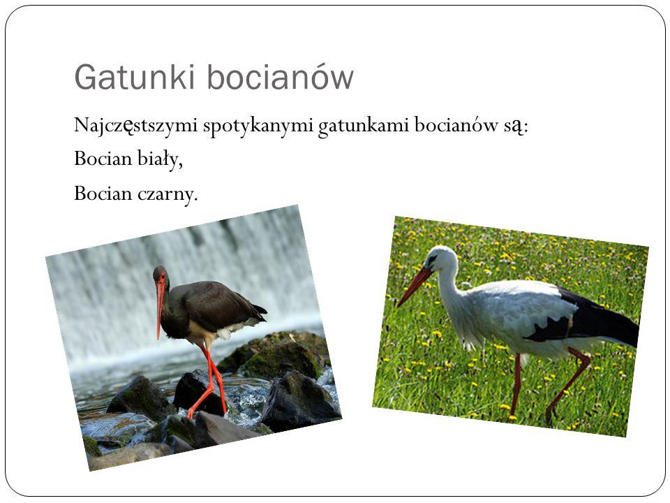 Gatunki bocianów Najczęstszymi spotykanymi gatunkami bocianów są: Bocian biały, Bocian czarny.