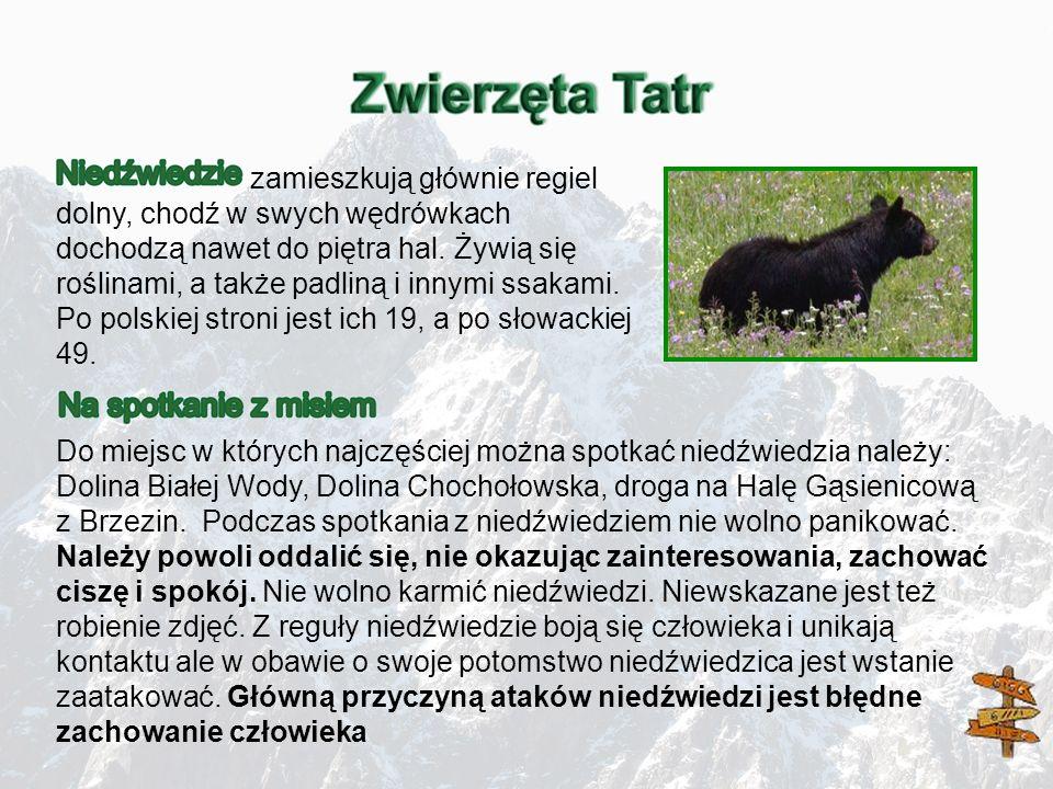 zamieszkują głównie regiel dolny, chodź w swych wędrówkach dochodzą nawet do piętra hal. Żywią się roślinami, a także padliną i innymi ssakami. Po polskiej stroni jest ich 19, a po słowackiej 49.