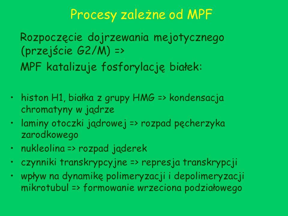 Procesy zależne od MPF Rozpoczęcie dojrzewania mejotycznego (przejście G2/M) => MPF katalizuje fosforylację białek: