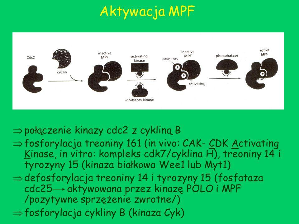 Aktywacja MPF połączenie kinazy cdc2 z cykliną B