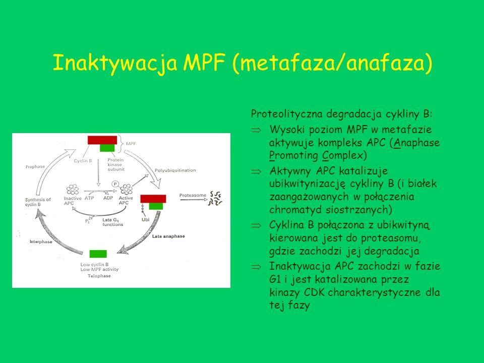 Inaktywacja MPF (metafaza/anafaza)