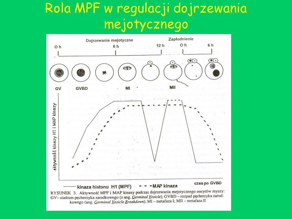 Rola MPF w regulacji dojrzewania mejotycznego