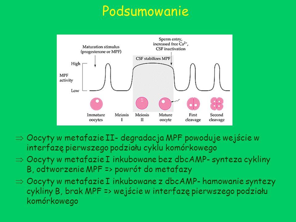 Podsumowanie Oocyty w metafazie II- degradacja MPF powoduje wejście w interfazę pierwszego podziału cyklu komórkowego.