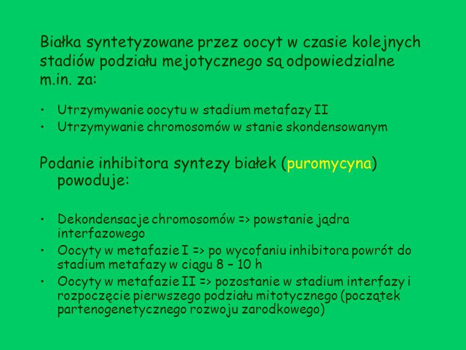 Podanie inhibitora syntezy białek (puromycyna) powoduje: