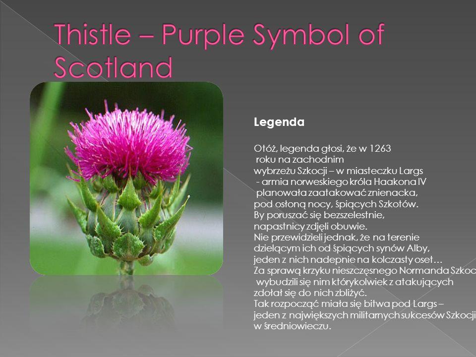 Thistle – Purple Symbol of Scotland