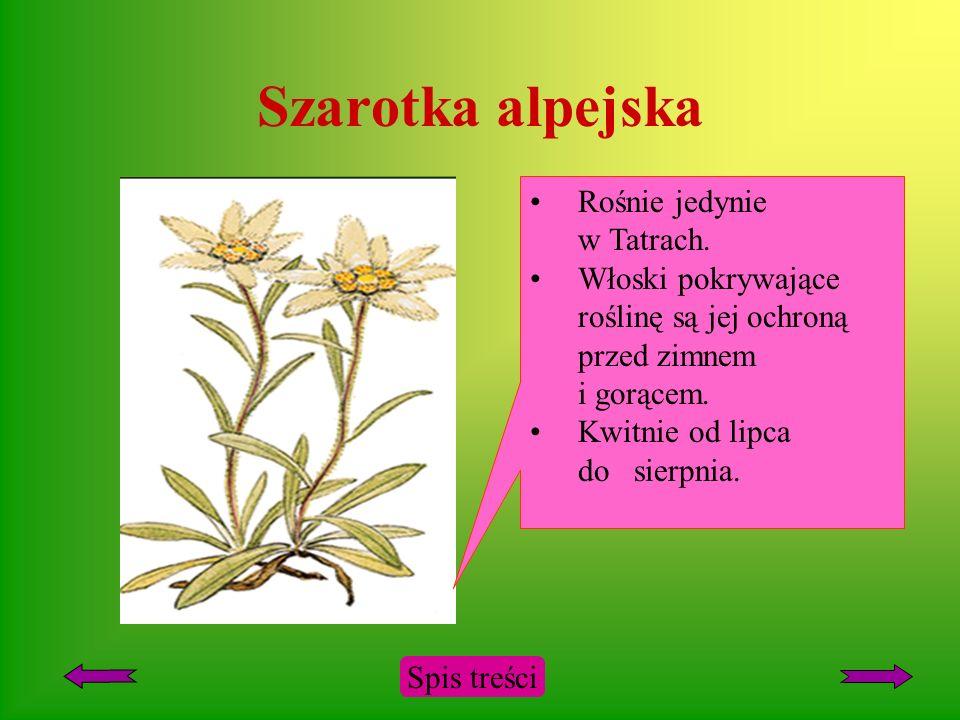 Szarotka alpejska Rośnie jedynie w Tatrach.