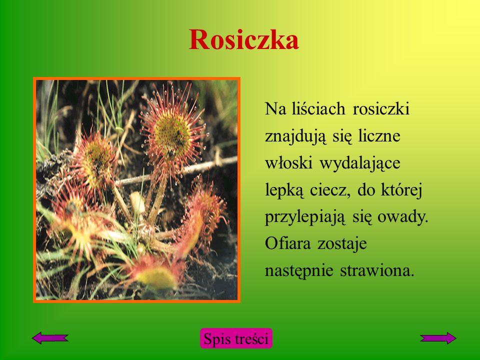 Rosiczka Na liściach rosiczki znajdują się liczne włoski wydalające lepką ciecz, do której przylepiają się owady.