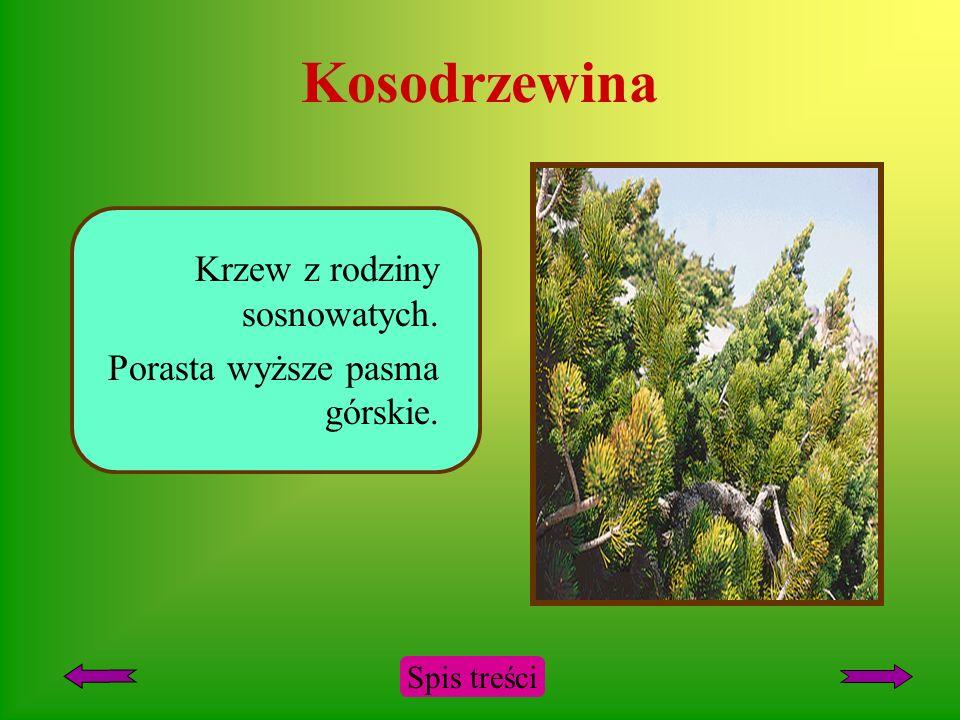 Kosodrzewina Krzew z rodziny sosnowatych.