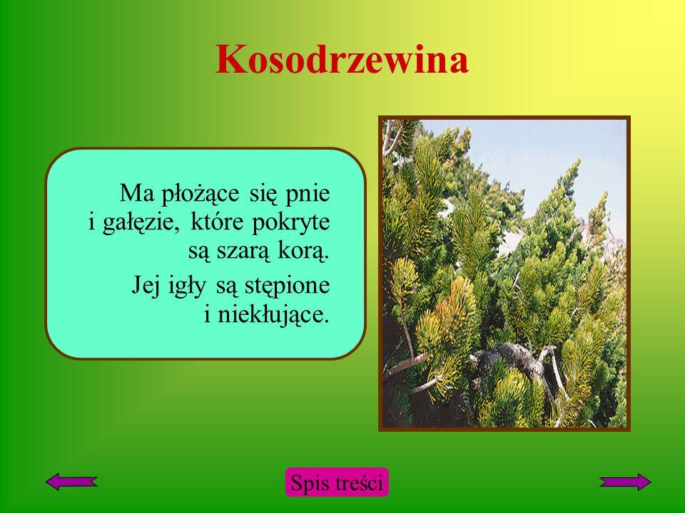 Kosodrzewina Ma płożące się pnie i gałęzie, które pokryte są szarą korą. Jej igły są stępione i niekłujące.