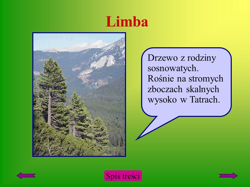 Limba Drzewo z rodziny sosnowatych. Rośnie na stromych zboczach skalnych wysoko w Tatrach.