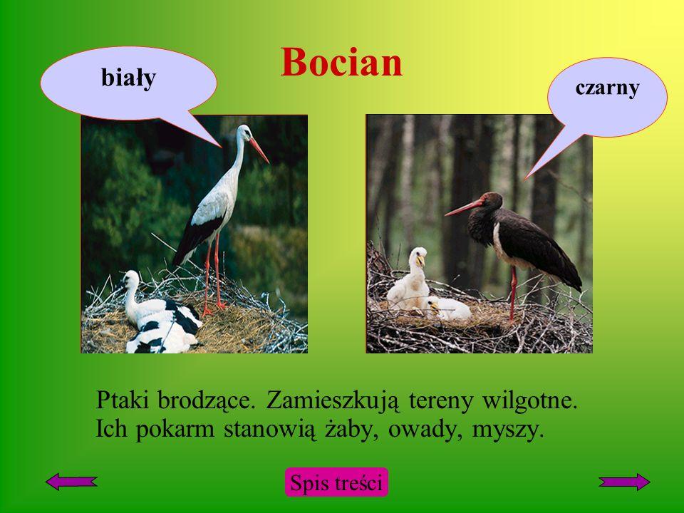 Bocian biały. czarny. Ptaki brodzące. Zamieszkują tereny wilgotne. Ich pokarm stanowią żaby, owady, myszy.