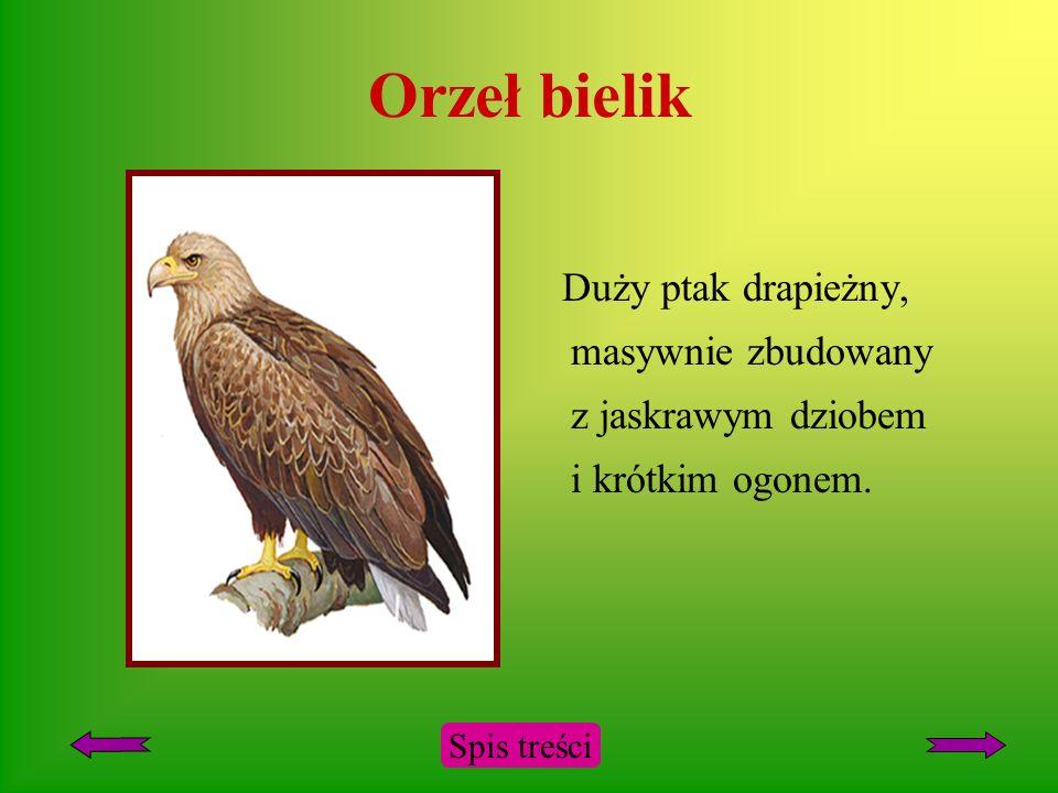 Orzeł bielik Duży ptak drapieżny, masywnie zbudowany z jaskrawym dziobem i krótkim ogonem.