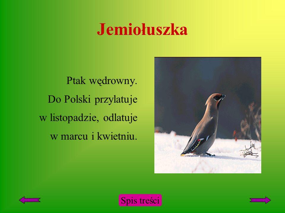 Jemiołuszka Ptak wędrowny. Do Polski przylatuje w listopadzie, odlatuje w marcu i kwietniu.