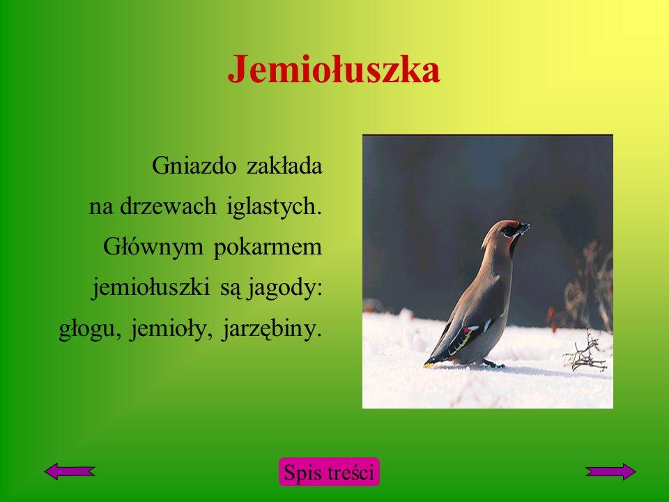 Jemiołuszka Gniazdo zakłada na drzewach iglastych. Głównym pokarmem jemiołuszki są jagody: głogu, jemioły, jarzębiny.