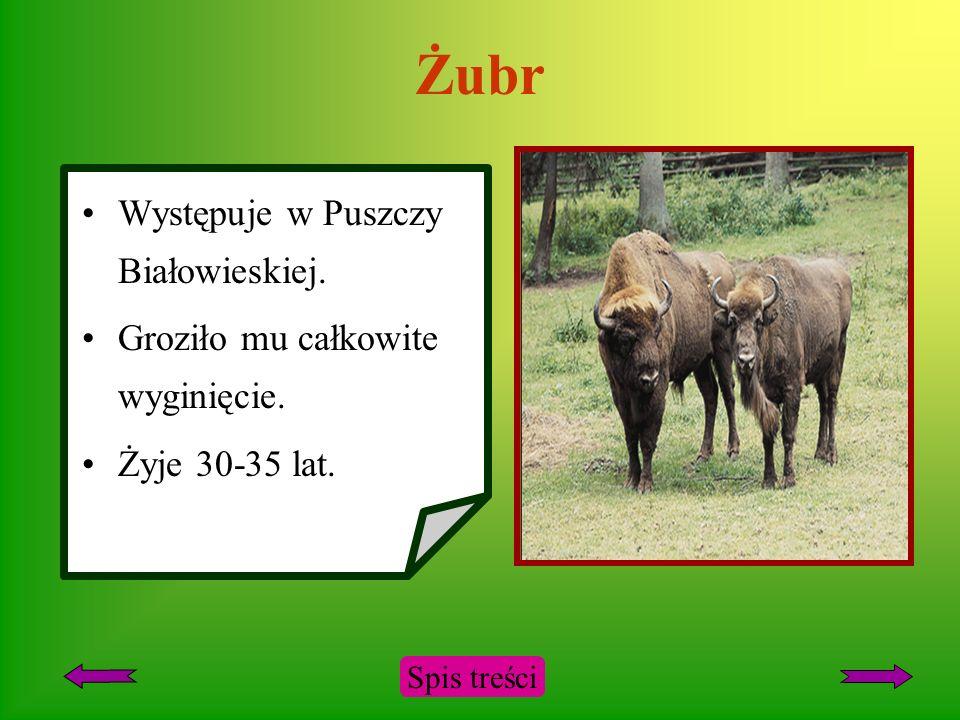 Żubr Występuje w Puszczy Białowieskiej.