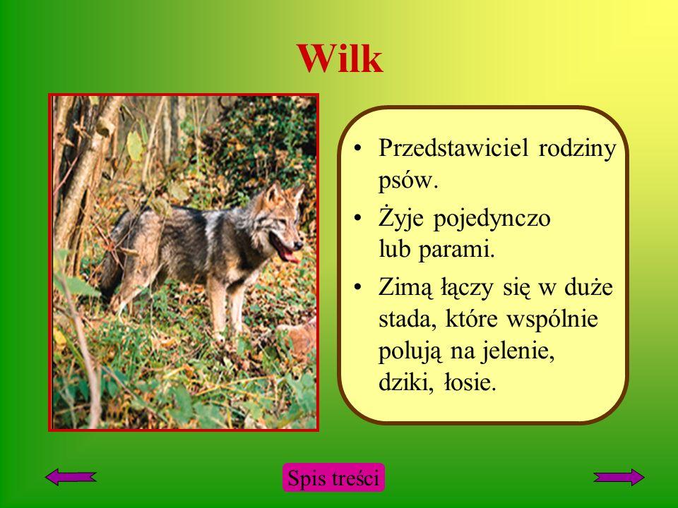 Wilk Przedstawiciel rodziny psów. Żyje pojedynczo lub parami.