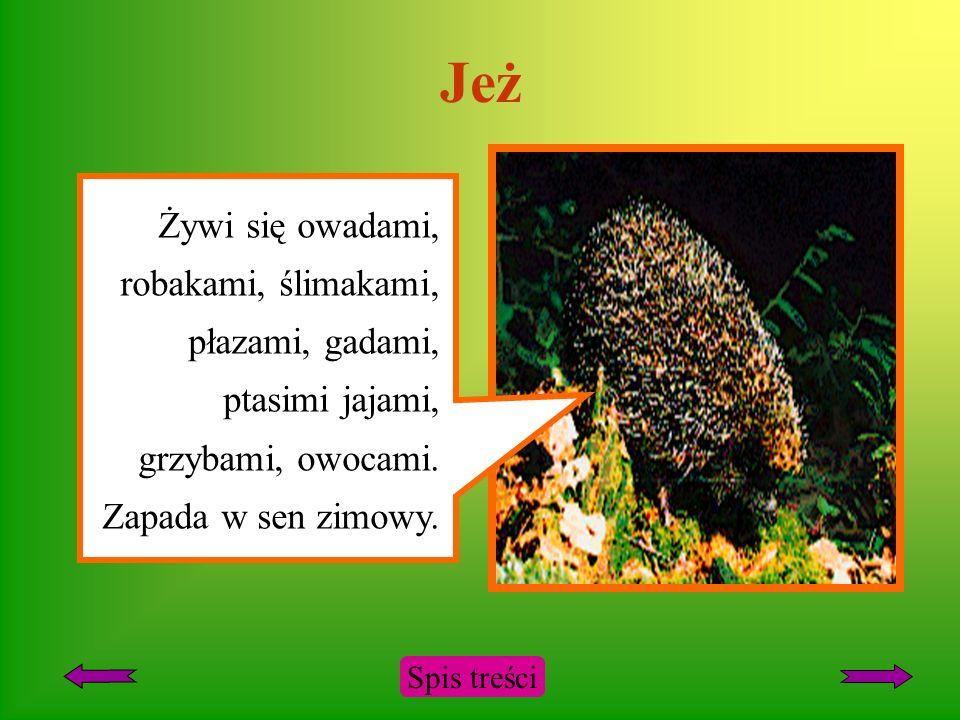 Jeż Żywi się owadami, robakami, ślimakami, płazami, gadami, ptasimi jajami, grzybami, owocami.