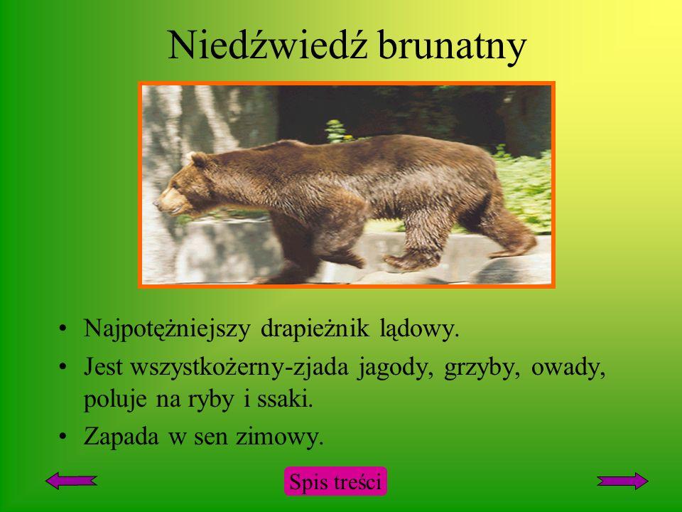 Niedźwiedź brunatny Najpotężniejszy drapieżnik lądowy.
