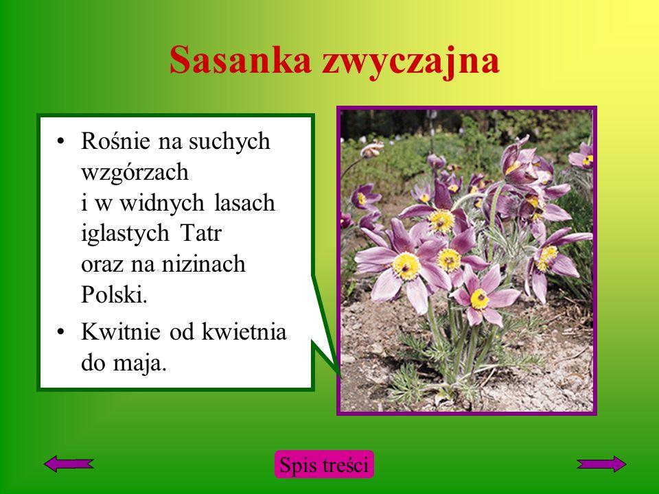 Sasanka zwyczajna Rośnie na suchych wzgórzach i w widnych lasach iglastych Tatr oraz na nizinach Polski.