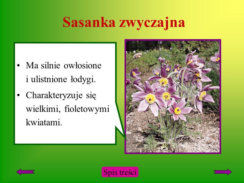 Sasanka zwyczajna Ma silnie owłosione i ulistnione łodygi.
