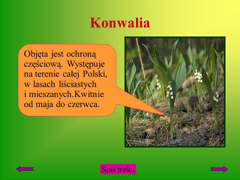 Konwalia