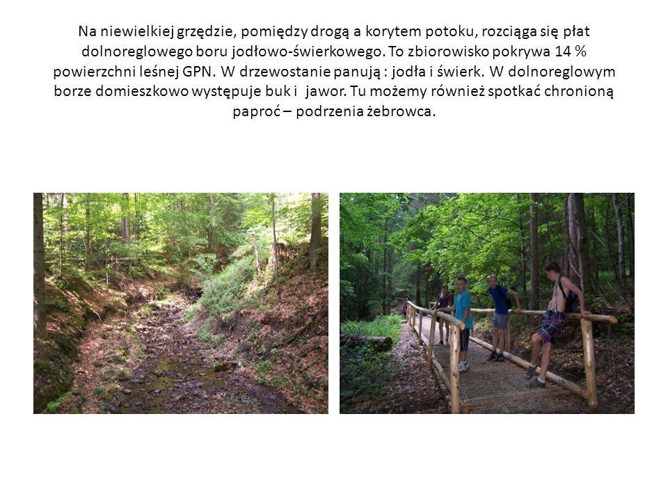 Na niewielkiej grzędzie, pomiędzy drogą a korytem potoku, rozciąga się płat dolnoreglowego boru jodłowo-świerkowego.