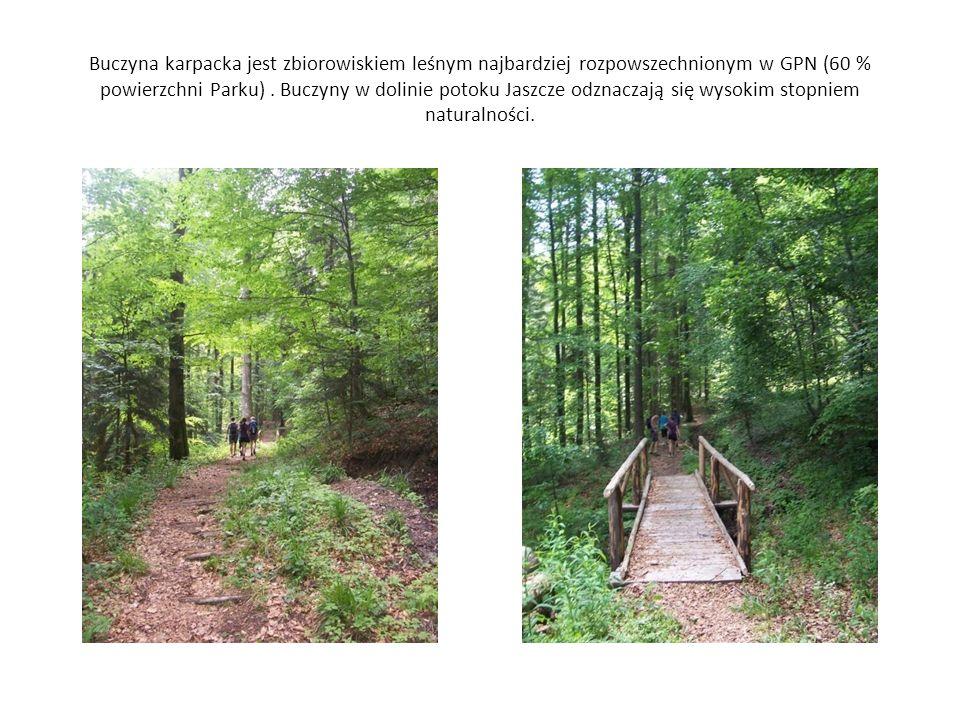Buczyna karpacka jest zbiorowiskiem leśnym najbardziej rozpowszechnionym w GPN (60 % powierzchni Parku) .