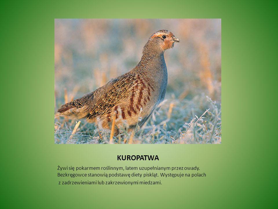 KUROPATWA Żywi się pokarmem roślinnym, latem uzupełnianym przez owady. Bezkręgowce stanowią podstawę diety piskląt. Występuje na polach.