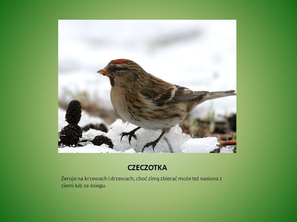 CZECZOTKA Żeruje na krzewach i drzewach, choć zimą zbierać może też nasiona z ziemi lub ze śniegu.