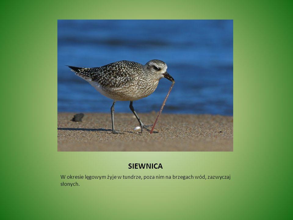 SIEWNICA W okresie lęgowym żyje w tundrze, poza nim na brzegach wód, zazwyczaj słonych.