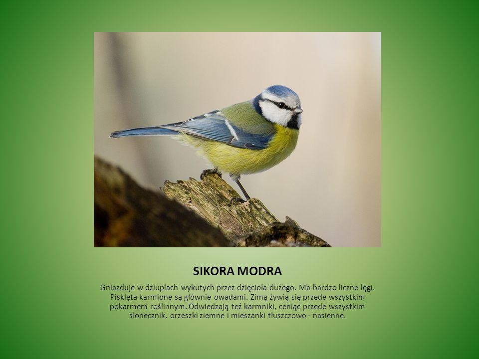 SIKORA MODRA