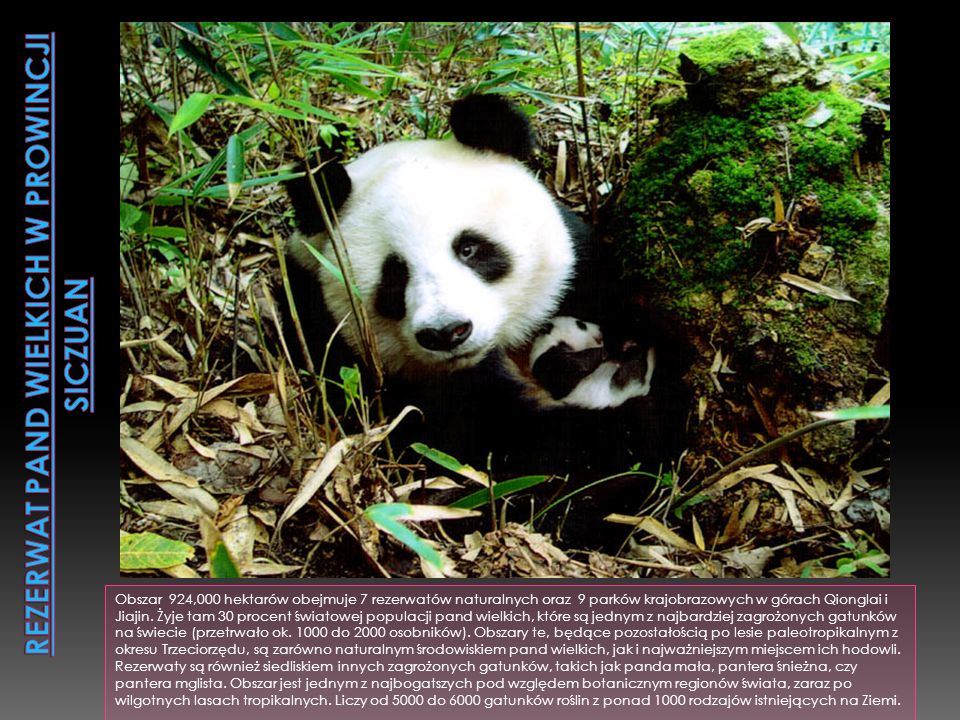 Rezerwat pand wielkich w prowincji Siczuan