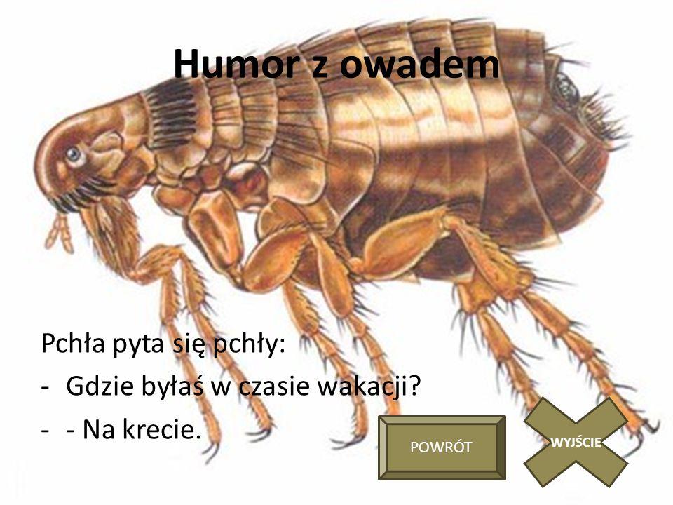 Humor z owadem Pchła pyta się pchły: Gdzie byłaś w czasie wakacji
