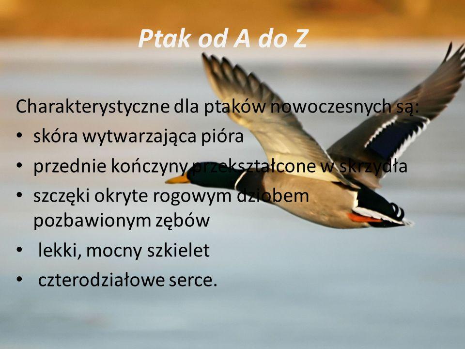 Ptak od A do Z Charakterystyczne dla ptaków nowoczesnych są: