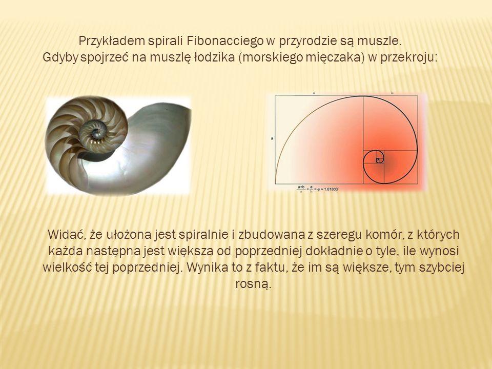 Przykładem spirali Fibonacciego w przyrodzie są muszle.