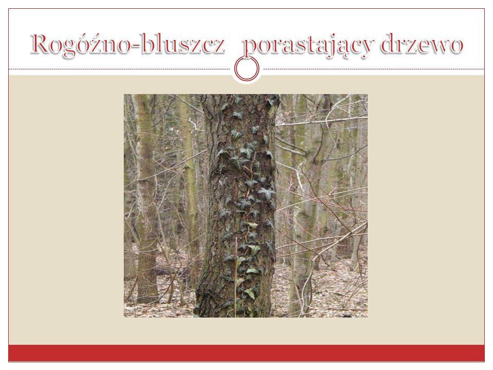 Rogóźno-bluszcz porastający drzewo