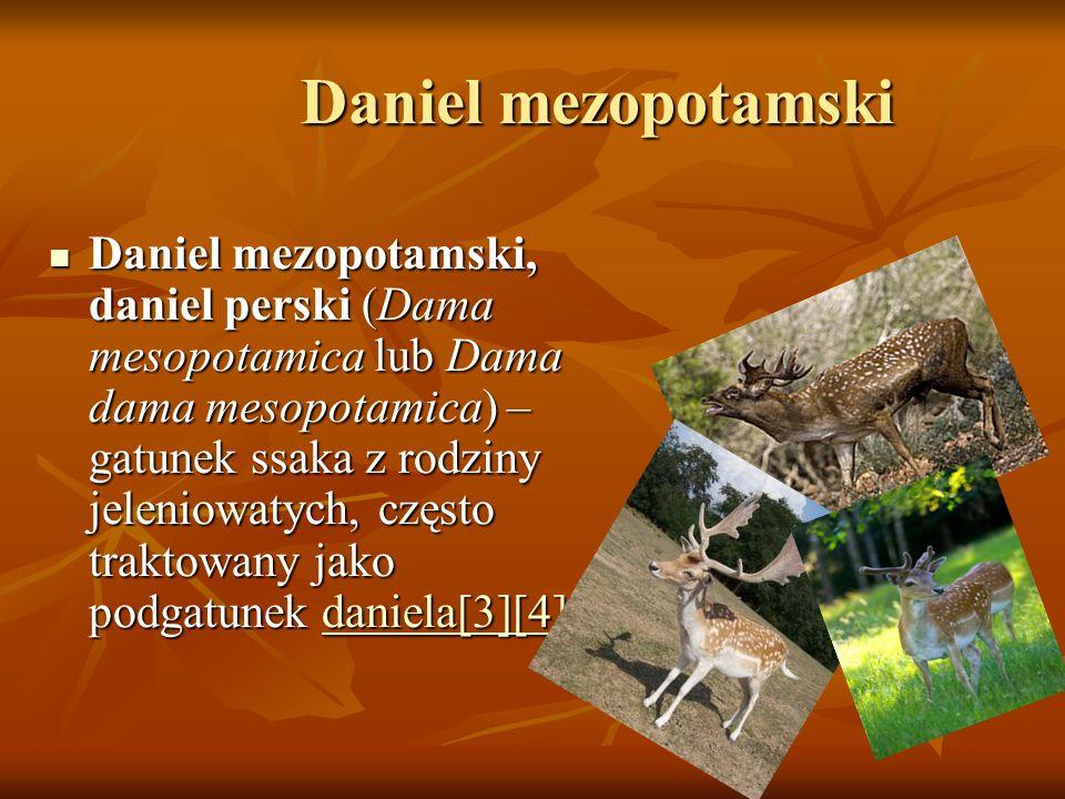 Daniel mezopotamski