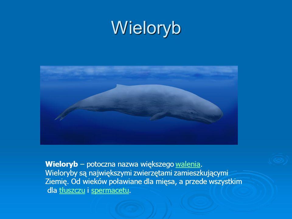 Wieloryb Wieloryb – potoczna nazwa większego walenia.