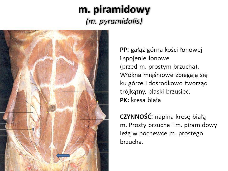 m. piramidowy (m. pyramidalis)