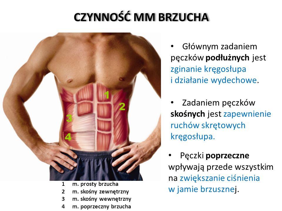 CZYNNOŚĆ MM BRZUCHA Głównym zadaniem pęczków podłużnych jest zginanie kręgosłupa. i działanie wydechowe.