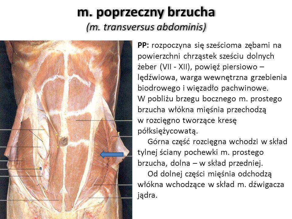 m. poprzeczny brzucha (m. transversus abdominis)